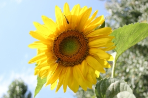 1310069_sunflower